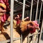 2020中国鳥インフルエンザの現状!人に感染する可能性と致死率大